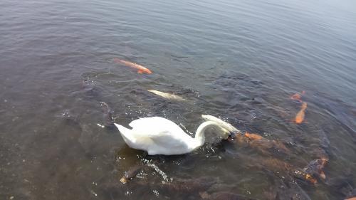 鯉と白鳥の餌の取り合い。