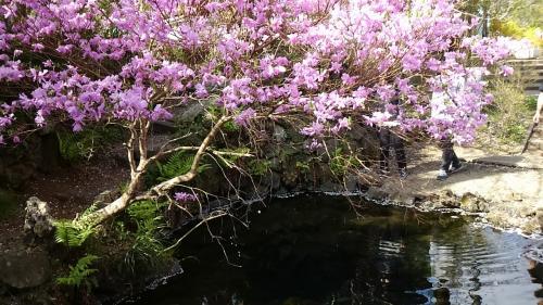 梅の花と池のコラボ。