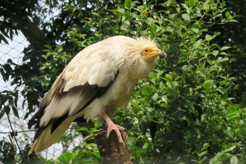 ついでにエジプトハゲワシも!<br /><br />ダチョウの卵に石をぶつけて割って食べる事をするらしいです。