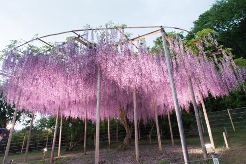 細い幹からこれだけの花を咲かせる藤、管理するの大変でしょうね…。