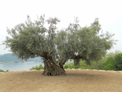 樹齢千年のオリーヴ大樹<br /><br />小豆島に興味を持つきっかけになった場所です。