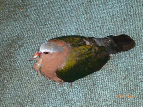 ☆トゥモール館からのエントランスに、不思議な色の鳩が!うずくまる。<br /><br />鳥好きの夫はあらゆる角度から眺めつつ、『ガラスにぶつかって脳しんとう起こしてるね!』と気がかりな様子~<br /><br />慌てた鳩が又もやガラスに激突!!この子の運命は。。。