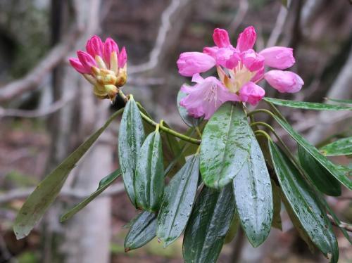 蕾は赤く、花が開いてくるにしたがってさわやかなピンクに変わります。