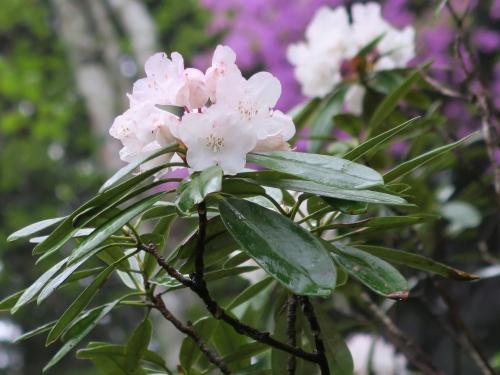 白い花もありますが、やはり少しだけピンクがかっていますね。