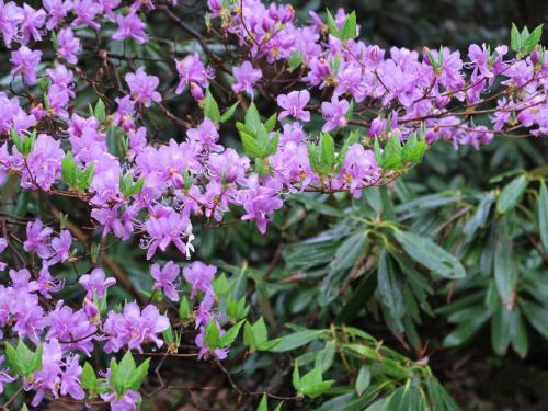 トウゴクミツバツツジと<br />ツツジが陽の花ならシャクナゲは陰の花
