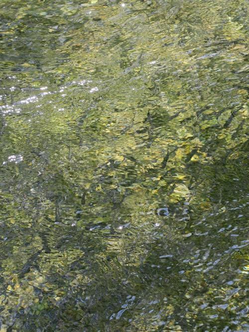 カワマスの稚魚が数百尾、元気に群れています。