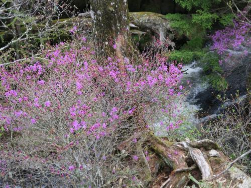 龍頭の滝<br /><br /> 滝沿いはトウゴクミツバツツジが満開です。<br />この色、とても鮮やかなピンクがかった紫色