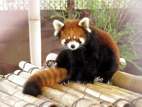 栃木県 / Tochigi<br /><br />【那須ワールドモンキーパーク / Nasu World Monkey Park →http://www.nasumonkey.com/ 】<br /><br />2012年02月10日→http://4travel.jp/traveler/jillluka/album/10644213/<br />2013年03月09日→http://4travel.jp/traveler/jillluka/album/10756498/<br />2013年08月04日→http://4travel.jp/traveler/jillluka/album/10798688/<br />2015年01月24日→http://4travel.jp/travelogue/10975239<br />2015年09月22日→http://4travel.jp/travelogue/11056142<br />2016年08月13日→http://4travel.jp/travelogue/11158150