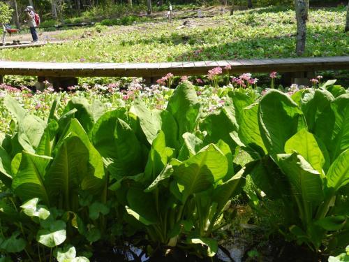 湿性植物池・・大きな葉っぱは咲き終わった水芭蕉です。<br />こんなに大きくなってしまうのですね!・・・びっくりです。<br />大きいのは1メートル近くの高さでしたよ!