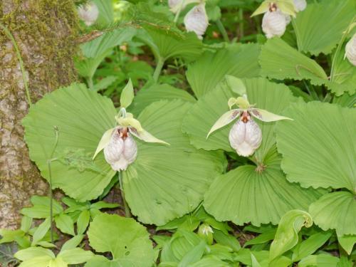 タマガイソウ<br />面白い形の花ですね。