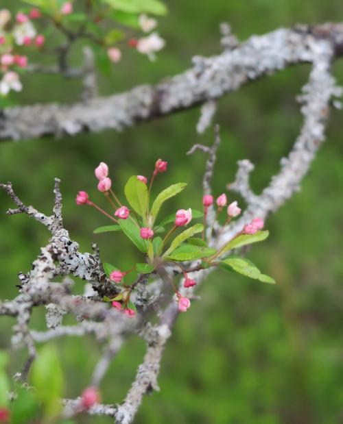 湯川沿いのズミ(2)<br /><br /> 蕾はピンク、開けば白、<br />リンゴの仲間(同属)です。