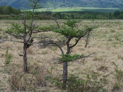 戦場ヶ原(2)<br /><br /> ここの標高は約1,400m 尾瀬ヶ原と同じく日本の高層湿原の標準の高さです。気温は地表よりマイナス8度となり、ちょうど北海道あたりに相当します。梅雨がないのも共通です。花の受粉に雨はジャマなのです。雨の日は昆虫だってやってきませんから。
