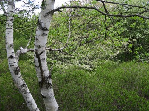 湯川沿いの白樺とズミ<br /><br /> 花が咲くのは1年365日のうち、わずか1週間ほど。はなはだ心もとないのです<br /><br /> ・山肩の花の命は短かけれ