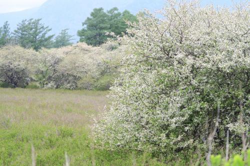 戦場ヶ原のズミ<br /><br /> 一本の木の満開期間はわずか3~4日。でも群生しているので早い木もあれば遅いのもある。一本の木でも一斉に咲くわけではありません。根元から順番に咲いてくる。受粉のための花の知恵です。<br />