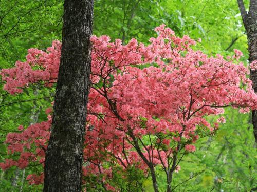 龍頭の滝<br /><br /> レンゲツツジも咲き始めました