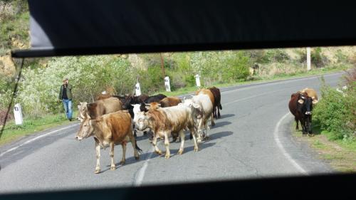 ガルニからさらにアザト渓谷を遡って、ゲハルト洞窟修道院へ。<br /><br />途中、牛たちが我が物顔に道を横切ります。