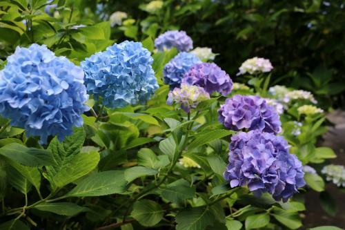 でも、途切れることのない紫陽花に癒されて・・・