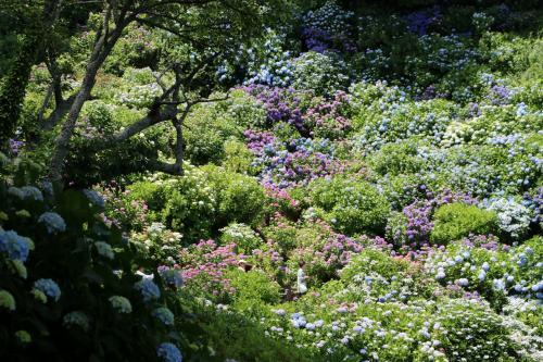ほどなく日本一といわれる紫陽花の群生地に到着・・・