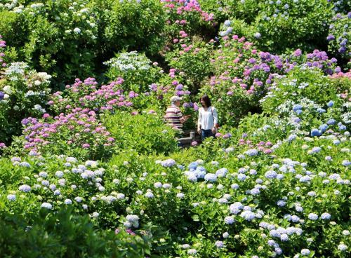 まさに紫陽花の花園です・・・