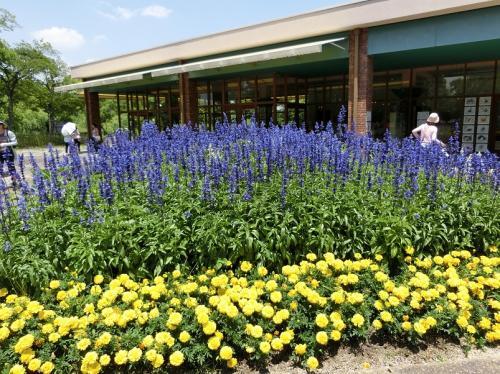 隣りの花壇には、黄色の「マリーゴールド」と青色の「ファリナセア」が咲いていました。