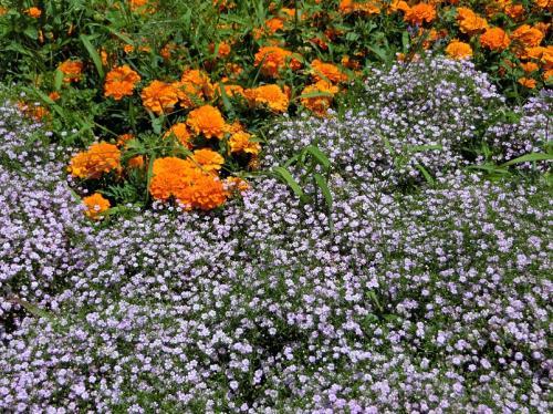 近くの「水の広場」の周辺には、オレンジ色の「マリーゴールド」と「カスミソウ」が咲いていました。<br /><br /><br />予期せぬ綺麗な花に時間を費やした後、「あじさいの森」を目指して移動しました。