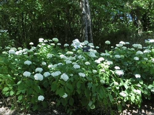 「あじさいの森」入り口周辺の遊歩道周辺には、いろいろな品種のアジサイが咲いていました。<br /><br />先ずは、白色の「アナベル」。