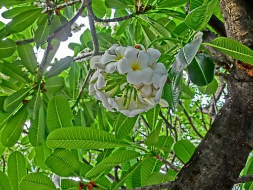 東南アジアではよく見かける花です。<br /><br /><br /><br />