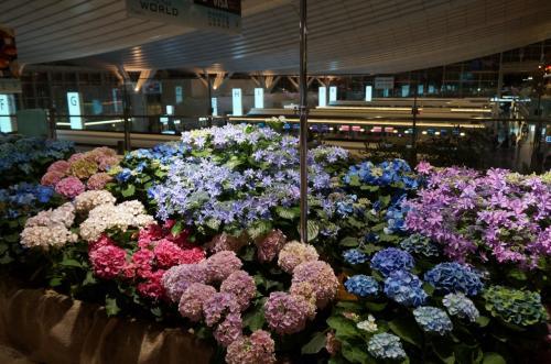 チェックインカウンター上のフロア。<br />毎回季節ごとの展示があって、今回はあじさいの花が咲いていました。