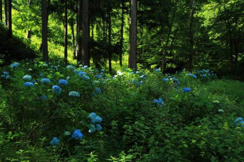 8:30 武石あじさい公園<br /><br />も一つ寄り道。<br />唐沢川周辺の木立の中のあじさい園。<br /><br /><br />入園料 無料<br />駐車場 無料