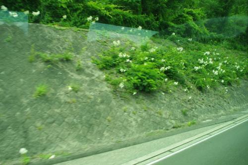 なんせどでかい岩手県を1泊2日でという強行スケジュール。<br />時間最優先で、今回は高速バスでまずは平泉へ。<br />(新幹線乗れとか言わないで)<br /><br />仙台駅前からはこれでもかといろんなバスが出ていて、こっちも車社会なんだなーと。<br /><br />東北にはヤマユリがめっちゃんこ咲いてた。<br />ユリって自生できるんや(゚∀゚)