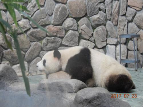 途中パンダセンターへ。四川省と言えばパンダですね。ここでは小さいパンダの教育がされていて子パンダが戯れる様子が見られます。とても可愛かったです。