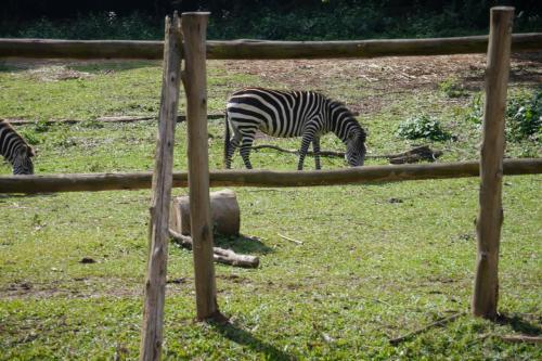 シマウマ!<br /><br />まあ日本にもありそうな普通の動物園です(笑)<br />しかもこの数日後, カサネのサファリに行きます... まあサファリの予習も兼ねてこの動物園に寄りました(笑)