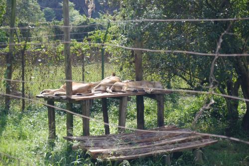 ライオン! でも残念ながらお昼寝中!