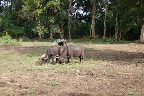 水牛!ってな感じの動物園でした(^_^;) まあ少し規模は大きいけど 日本でもありそうな動物園でしたね...<br /><br />この時点で大体16時半頃, 明日の早朝にはルワンダに移動するんで 本当に動物園に寄っただけのウガンダ滞在になってしまいました(;´・ω・)