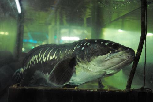 水槽にはこんなデカイ魚も居ました。<br /><br />こいつは食材じゃないよね。。
