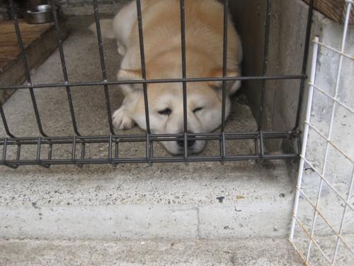 秋田犬もおりました。<br /><br />協力金一人100円。