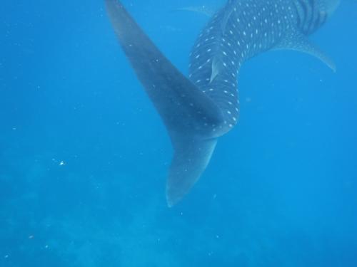 ジンベイザメの後ろ姿。<br /><br />尾ひれも大きい!!<br /><br />