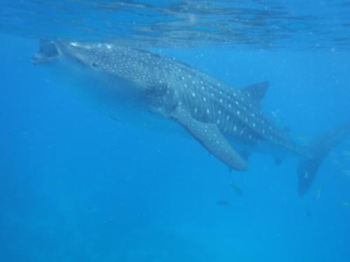 海に入ってみました。<br /><br />大きいー!!<br /><br />こうやって口を開けながら泳いで、口の中に餌を取り込んでいるそうです。<br /><br />顔、よく見たらかわいいかも。<br /><br />