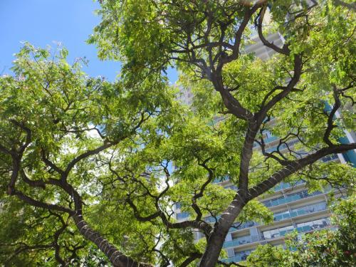 この樹は、イリカイホテルが建設されると同時に植えられたので、もう50年になるのかな?樹は50年経過すると 大木になるんですね・・・ちなみに、実業家チン・ホーさんがイリカイを建てました。