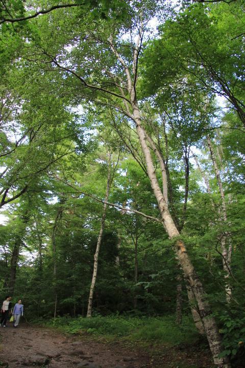 五色沼自然探勝路は全長約3.6Kmで、それなりにアップダウンはありますが、歩きやすい散策路です。