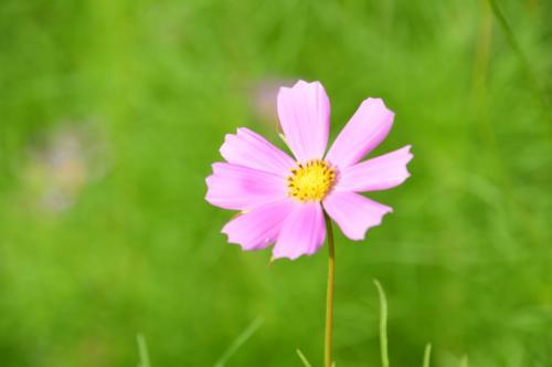 合掌造りの集落は、もちろん今も民家として使われているところも多いんだけど、どこのお庭も花々が綺麗。