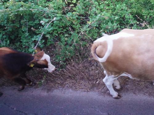 さらに南下し、スヴェティ・ナウム修道院を目指します。<br /><br />途中で、牛の親子に会いました。