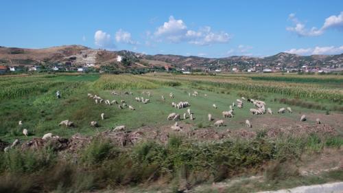 羊の放牧も。