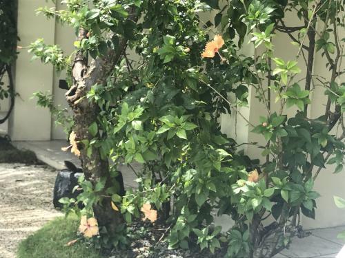 私たちのお部屋のバルコニーの脇には、ハイビスカスの木がありました。<br />淡いオレンジ。<br /><br /><br /><br />