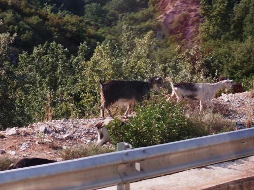 ヒマラを出て、すぐに山道になりました。道の脇にヤギが。