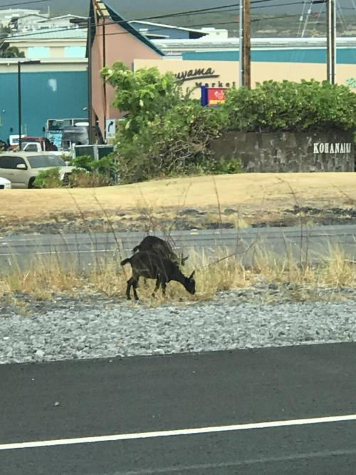 この島には、なんでこんなトコに?!ってくらいヤギがいます。一応ココも片側一車線のハイウエーなんですよね・・・このハイウエーをひたすら走りヒロの町へ。