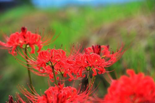 九州では彼岸花と一般的に言っています。