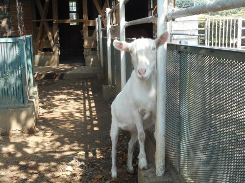 赤城南麓にある大胡ぐりーんふらわー牧場で、<br />ちっとも動かないヤギを見る。<br />ポニー、ひつじ、うさぎ、うし、とり、・・などもいるヨ(´▽`)