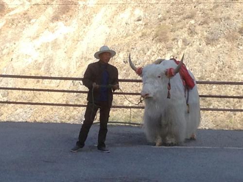 途中、トイレ休憩のお土産屋さん。<br />白い動物はヤクさんです。<br /><br />お金を払うと乗って写真が撮れます。