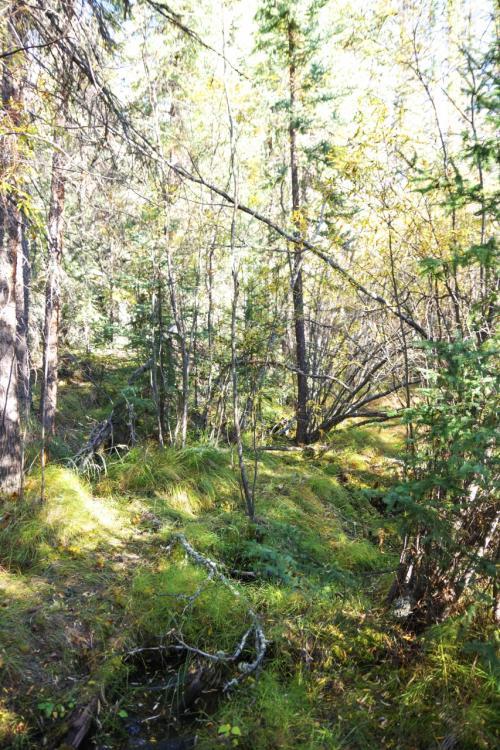 北の方の森は木が細いせいか、繊細な美しさがあるような気がします。<br />リスの巣とかありました。<br /><br />そういえば、ここに来るまでのバスの中からはビーバーの巣や鷹の巣なんかも見かけました。<br />ダウンタウンでもキツネがいました!<br />自然豊かです。